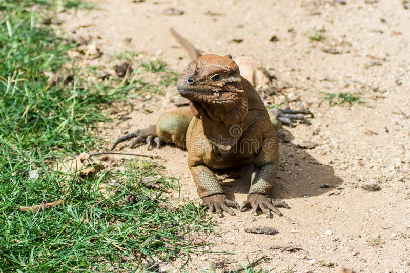 Nashornleguan, der auf Sand aufwärmt lizenzfreie stockfotos