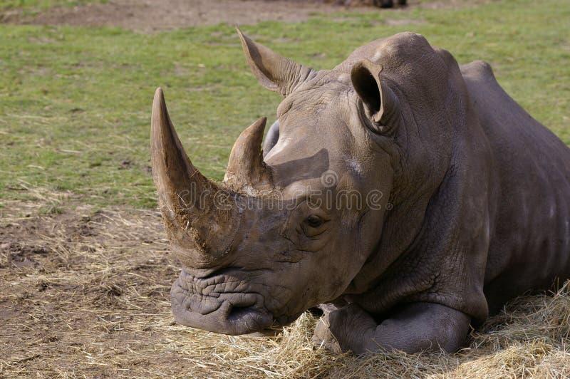 Nashornschlafen lizenzfreie stockbilder