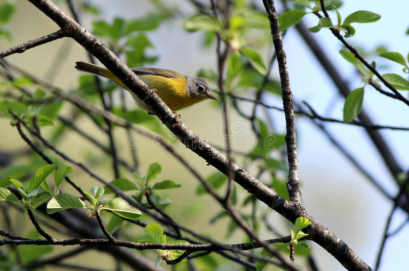 Nashville Warbler Perched on a Branch. A Nashville Warbler perched on a branch in Eastern Washington royalty free stock image