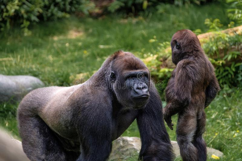 Nasibu the silverback gorilla explains his little step brother the facts of life. Two young silverback gorilla`s, they are step brothers. Rotterdam Zoo, the stock photography