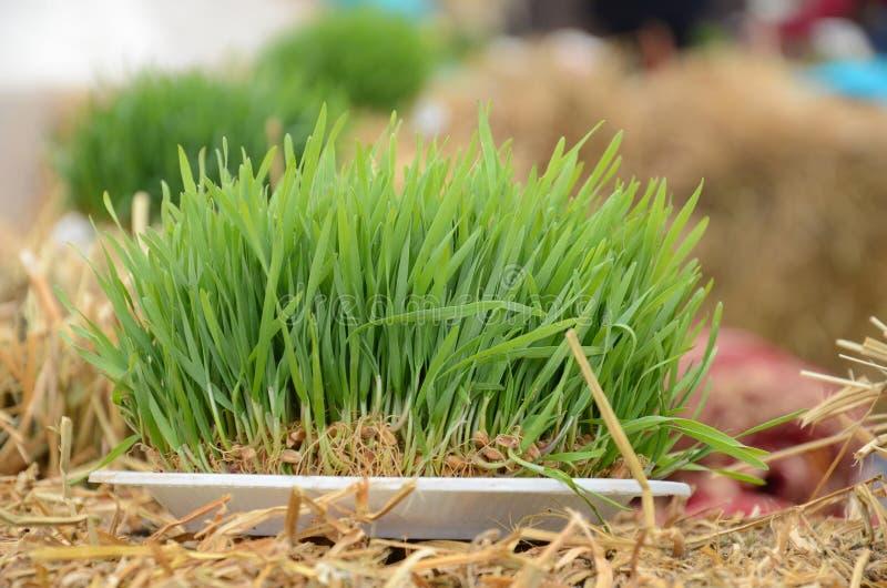 Nasienny oblężenie na czerwonym faborku na suchej trawie obrazy royalty free