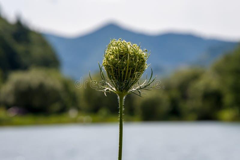 Nasiona marchwi rosną na tle gór i jezior Parasolki i selery Nasiona i liście zdjęcia royalty free