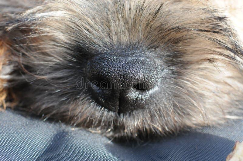 Naso di Terrier di confine fotografie stock libere da diritti