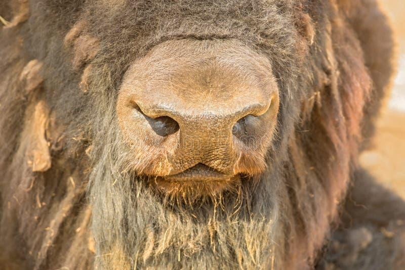 Naso di un bisonte, fine su fotografia stock