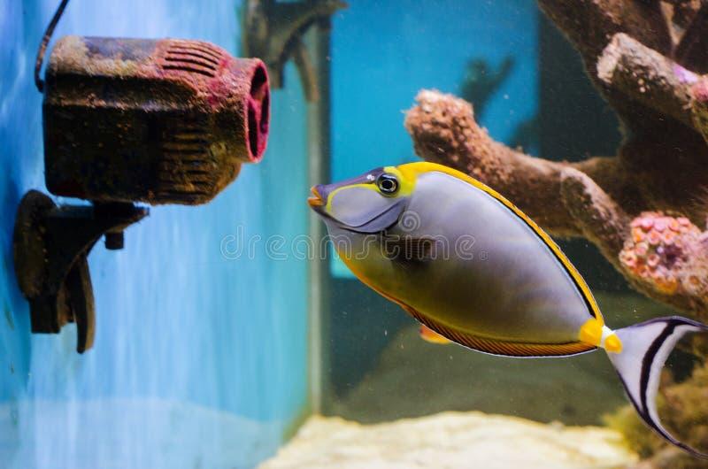 Naso elegans (Elegancki Unicornfish) obraz royalty free