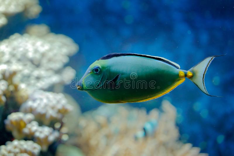 Naso lituratus, Pacific orange-spine unicornfish, nature water habitat. Blue water with beautiful yellow blue fish. Animal in sea. Water. Indian ocean stock images