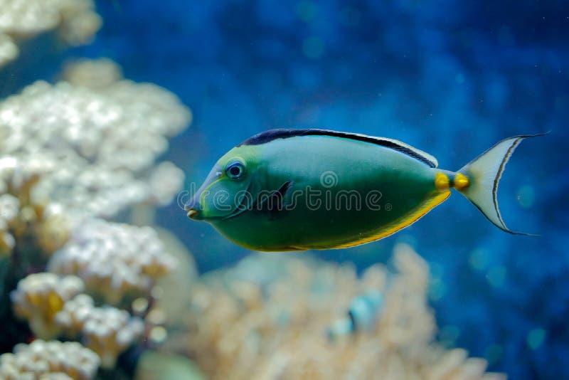 Naso lituratus, Stillahavs- apelsin-rygg unicornfish, naturvattenlivsmiljö Blått vatten med den härliga gulingblåttfisken Djur i  arkivbilder