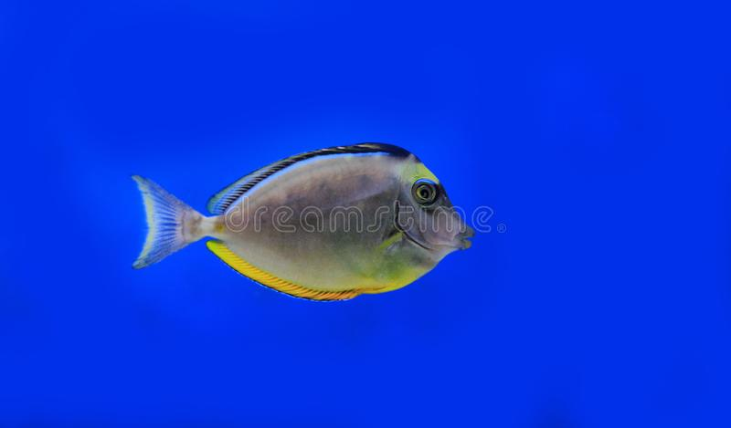 Naso Tang Naso lituratus. The Naso Tang, also known as the Orangespine Unicornfish, darkens with maturity. Naso Tangs from Hawaii are often more brightly colored royalty free stock photo
