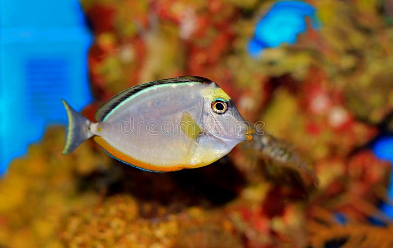 Naso Tang - Naso lituratus. The Naso Tang, also known as the Orangespine Unicornfish, darkens with maturity. Naso Tangs from Hawaii are often more brightly royalty free stock photos
