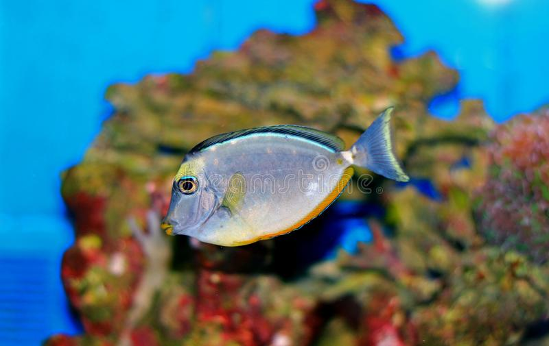 Naso Tang - Naso lituratus. The Naso Tang, also known as the Orangespine Unicornfish, darkens with maturity. Naso Tangs from Hawaii are often more brightly royalty free stock images