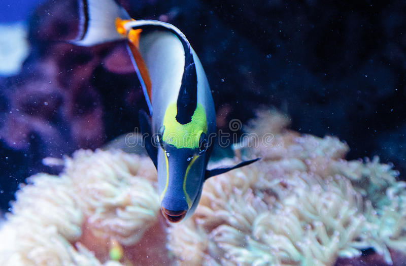 Naso tang fish known as Naso lituratus. On a coral reef stock images
