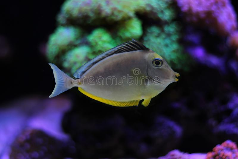 Naso Tang Naso lituratus. The Naso Tang, also known as the Orangespine Unicornfish, darkens with maturity. Naso Tangs from Hawaii are often more brightly colored stock image