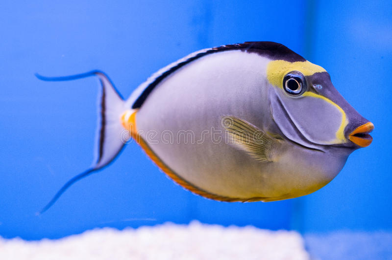 Naso Tang Male with Streamers. The Naso Tang, also known as the Orangespine Unicornfish, darkens with maturity. Naso Tangs from Hawaii are often more brightly royalty free stock photos