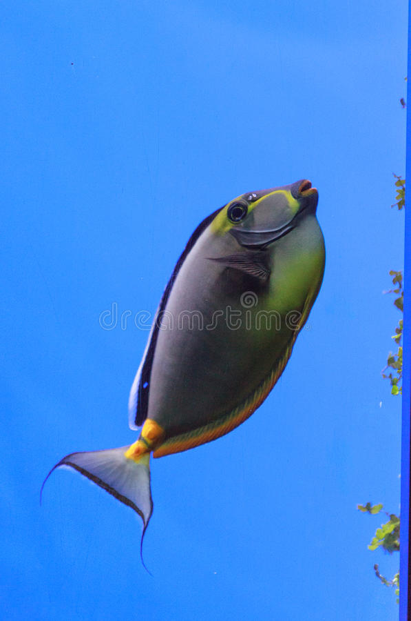 Naso tang, Naso lituratus. Is found in the Indian and Pacific Ocean royalty free stock image