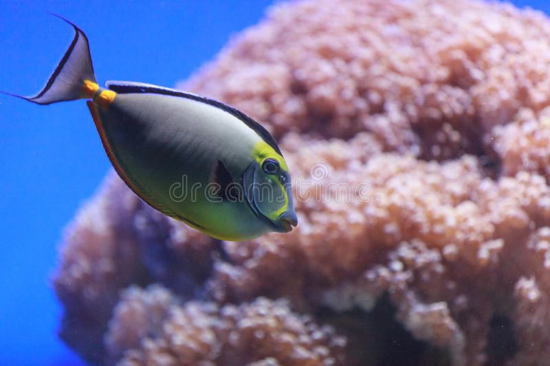 Naso tang, Naso lituratus. Is found in the Indian and Pacific Ocean stock photos