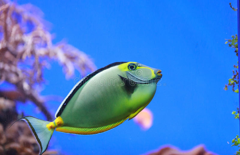 Naso tang, Naso lituratus. Is found in the Indian and Pacific Ocean royalty free stock images