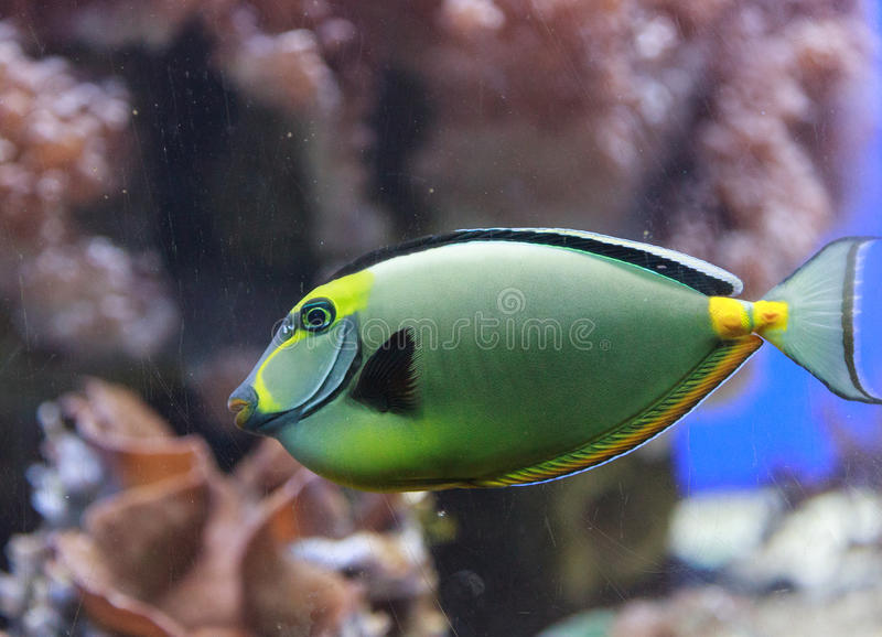Naso tang, Naso lituratus. Is found in the Indian and Pacific Ocean stock photo