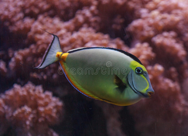 Naso tang, Naso lituratus. Is found in the Indian and Pacific Ocean stock image