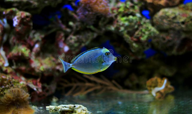 Naso Tang - Naso lituratus. The Naso Tang, also known as the Orangespine Unicornfish, darkens with maturity. Naso Tangs from Hawaii are often more brightly stock photography