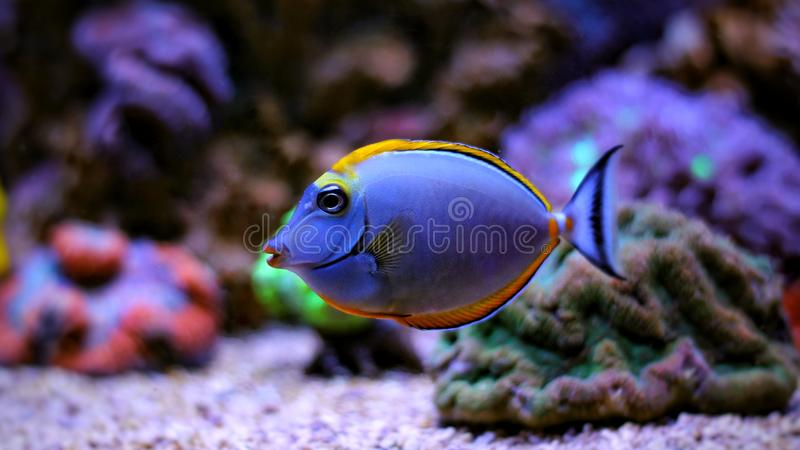 Naso Tang - Naso lituratus. The Naso Tang, also known as the Orangespine Unicornfish, darkens with maturity. Naso Tangs from Hawaii are often more brightly royalty free stock photography