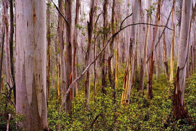 Nass nebelige Eukalyptusbäume in den blauen Bergen Australien lizenzfreie stockbilder