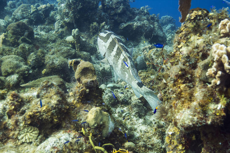 Nassau grouper. Big nassau grouper swimming away in an coral reef stock images
