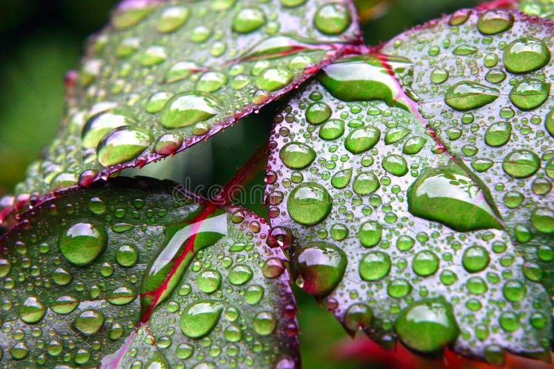 Nasse Blätter des grünen Taus lizenzfreie stockfotos