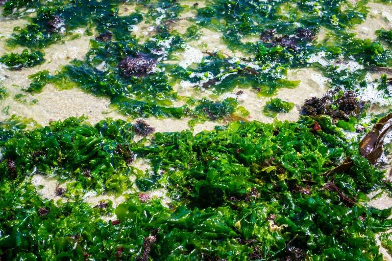 Nasse Meerespflanze stockfotografie