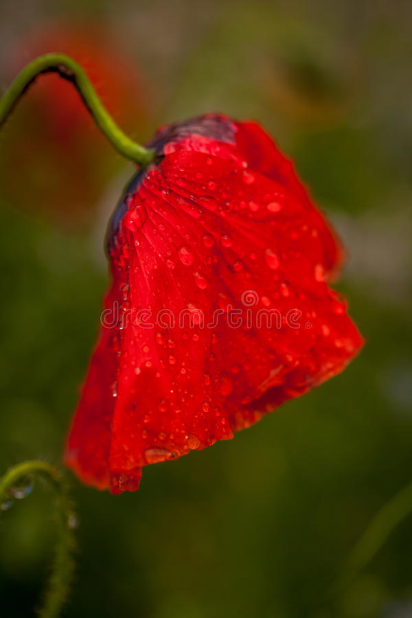 Nasse Mohnblumenblume stockbilder