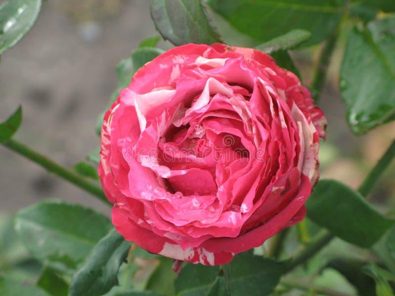 Nasse rosa Intuition stieg stockfotos