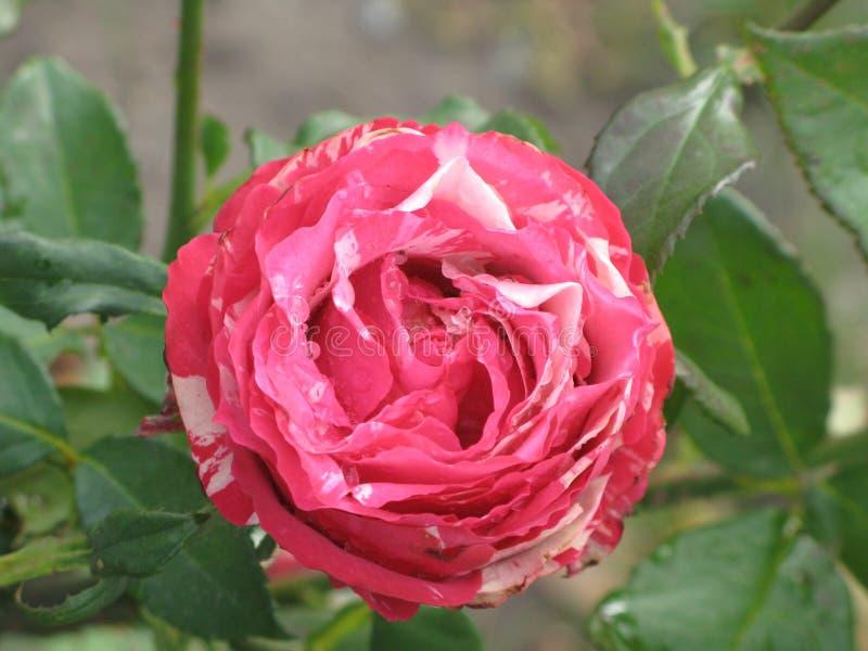 Nasse rosa Intuition stieg lizenzfreie stockfotografie
