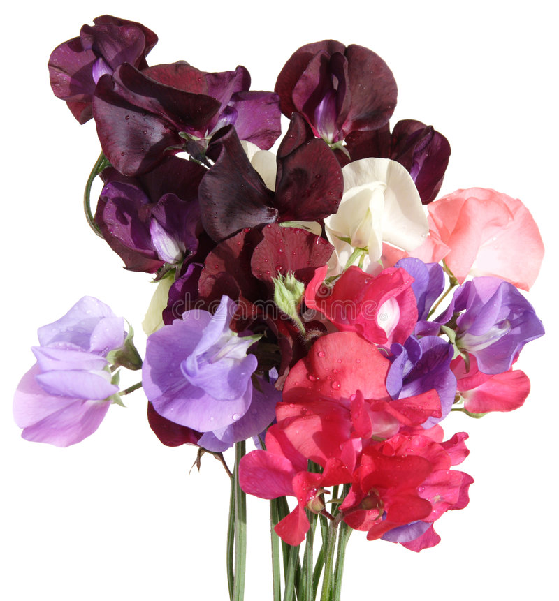 Nasser Blumenstrauß der süßen Erbse stockfoto