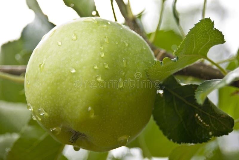 Nasser grüner Apple lizenzfreies stockbild