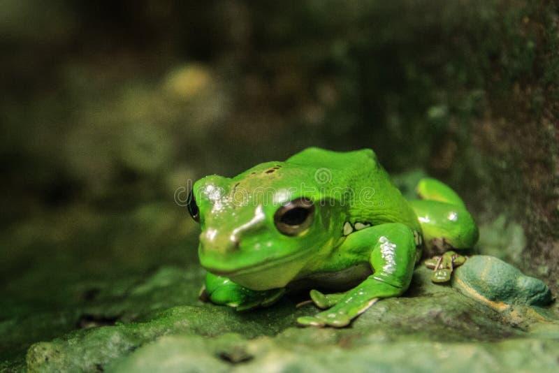 Nasser grüner Frosch, der auf etwas wartet lizenzfreie stockfotos