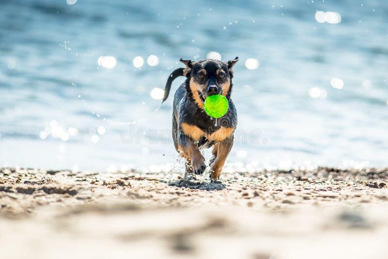 Nasser Hund, der mit Ball läuft stockfotos