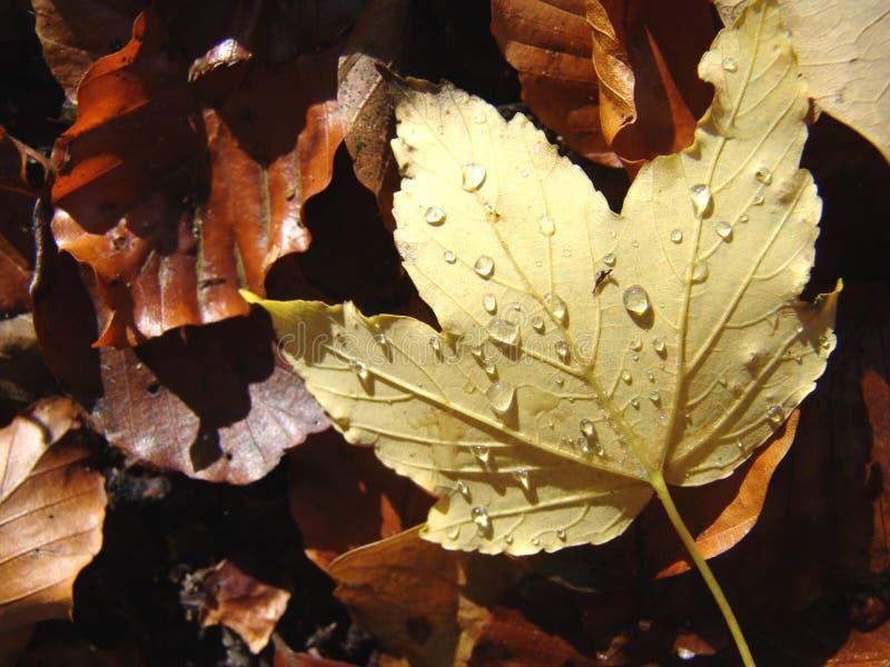 nasses Herbstblatt lizenzfreies stockbild