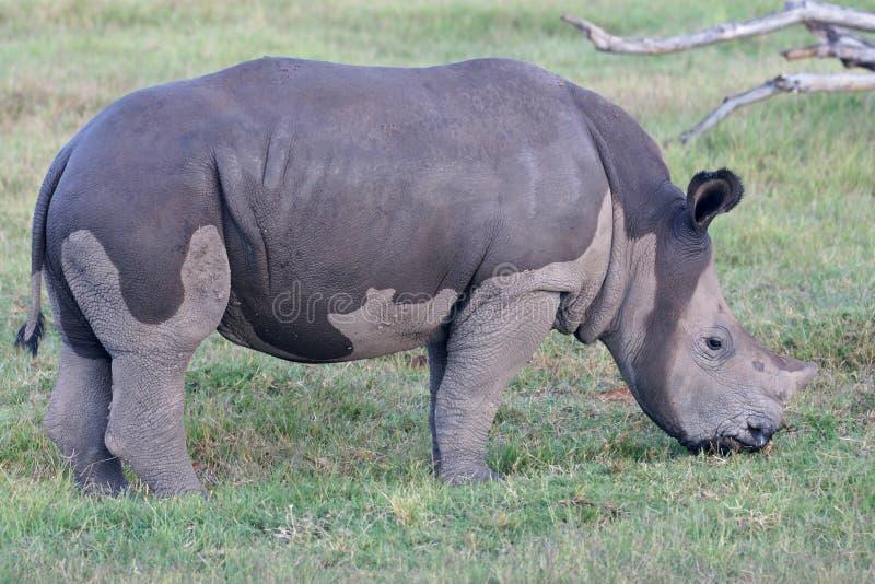 Nasses Nashorn-Kalb in Camo stockbild