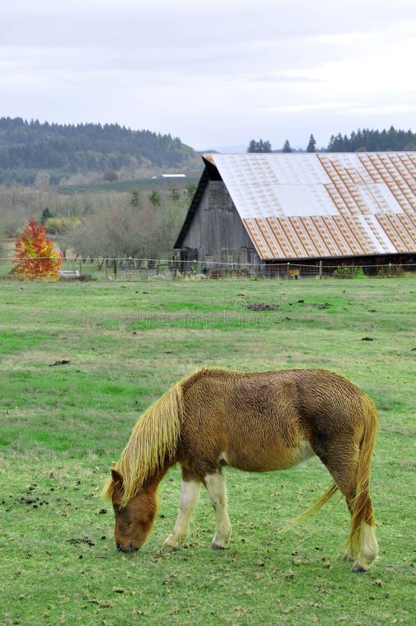 Nasses Pony, das Gras vor Stall isst lizenzfreie stockbilder