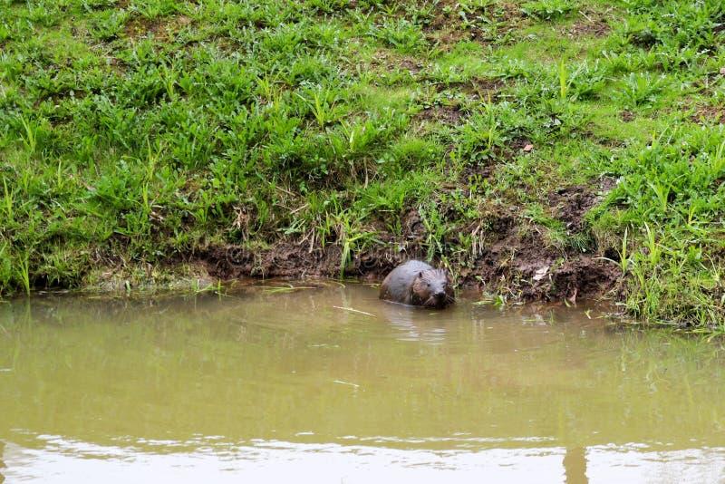 Nasses wildes Browns mit den scharfen Zähnen und Wasserbiberüblichen des großen Endstücks, das Nagetier schwimmt in einen Teich,  lizenzfreies stockbild