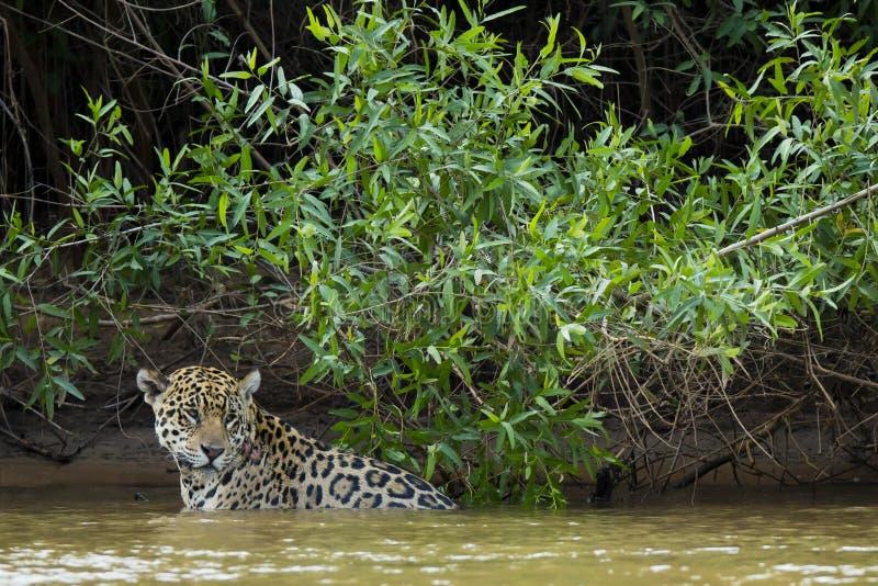 Nasses wildes Jaguar, das im Fluss vor Dschungel pausiert stockfotografie