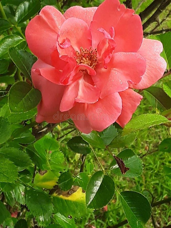 Następy kwiat zdjęcie royalty free