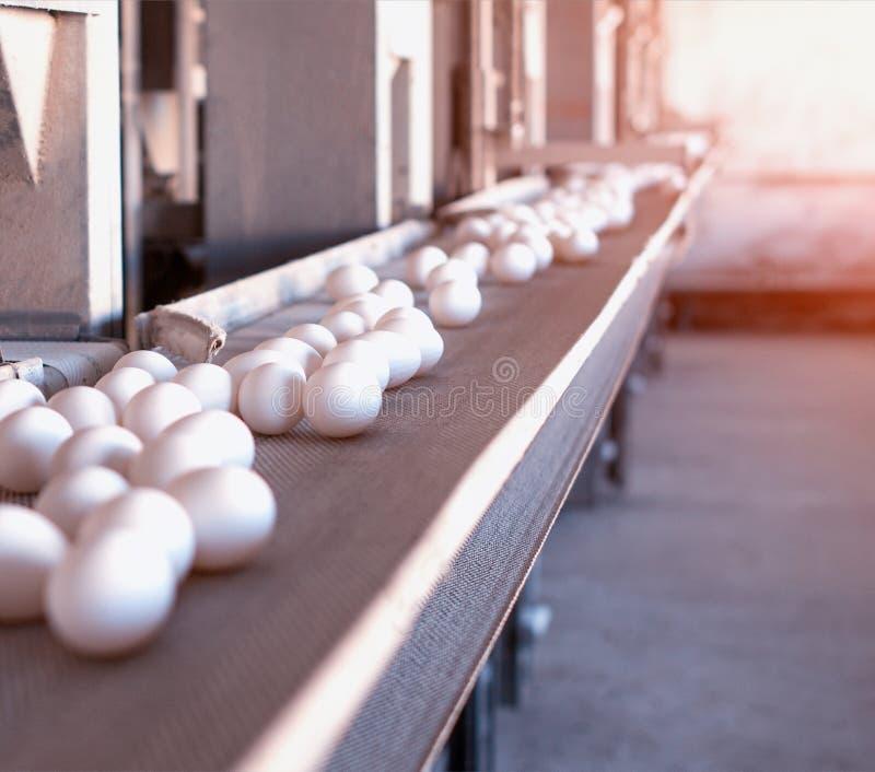 Nastro trasportatore multilivelli con le uova su un'azienda agricola di pollo, sole, trasportatore, spazio del pollo della copia fotografia stock libera da diritti