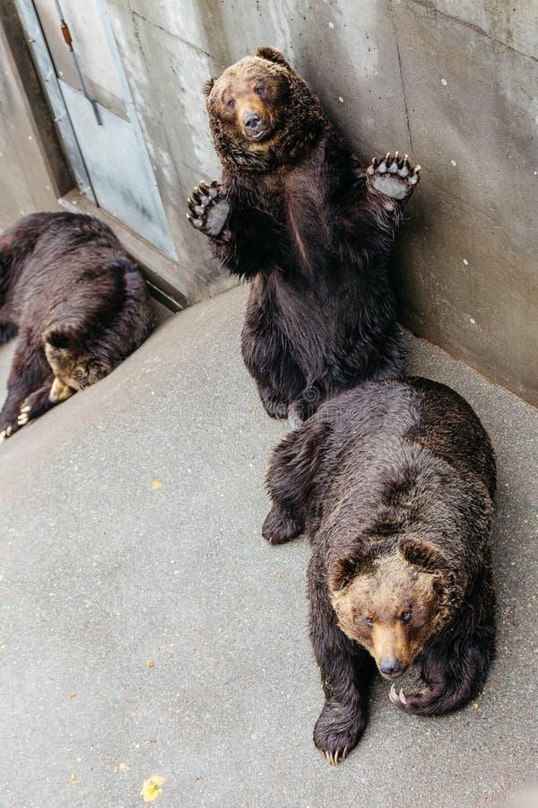 Nastroszeni Brown niedźwiedzie czołgać się na beton ziemi przy Noboribetsu niedźwiedzia parkiem w hokkaidu, Japonia obraz royalty free