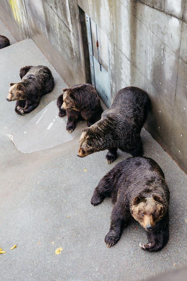 Nastroszeni Brown niedźwiedzie czołgać się na beton ziemi przy Noboribetsu niedźwiedzia parkiem w hokkaidu, Japonia zdjęcia stock