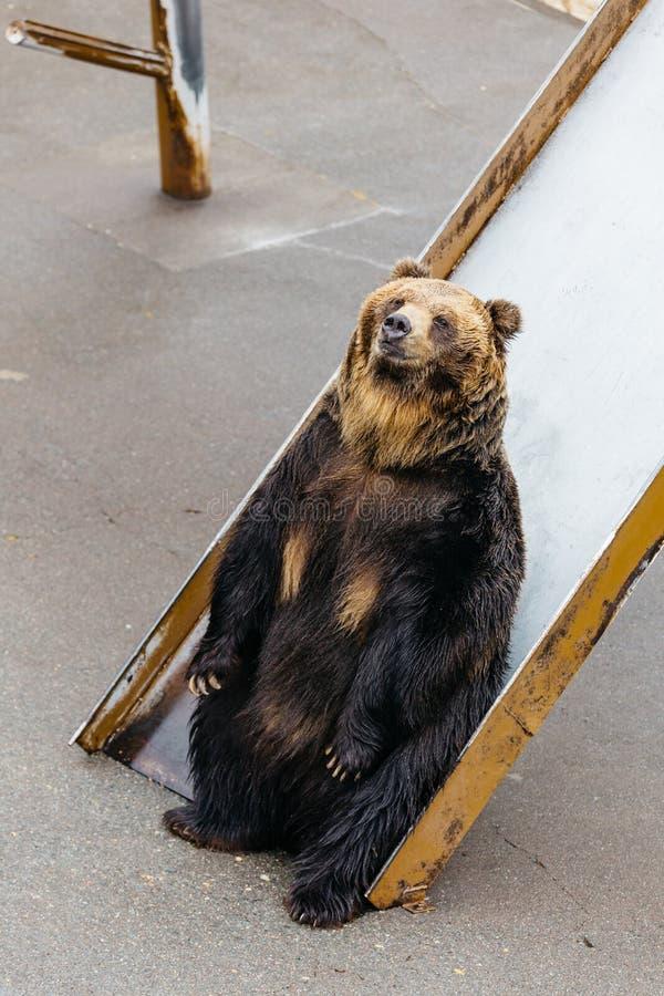 Nastroszeni brown niedźwiedzie siedzi na suwaku przy Noboribetsu niedźwiedzia parkiem w hokkaidu, Japonia obraz stock