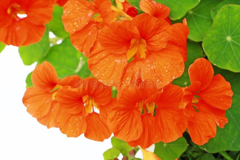 Nasturce de floraison dans le jardin images libres de droits