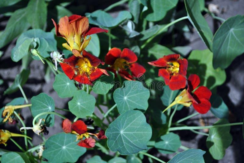 Nasturce de jardin de majus de Tropaeolum, cresson indien, fleurs lumineuses rouges de floraison de cresson de moines étroites ve photographie stock libre de droits