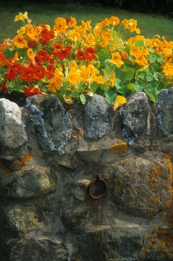 Nasturce sur le vieux mur en pierre avec le lichen photos libres de droits