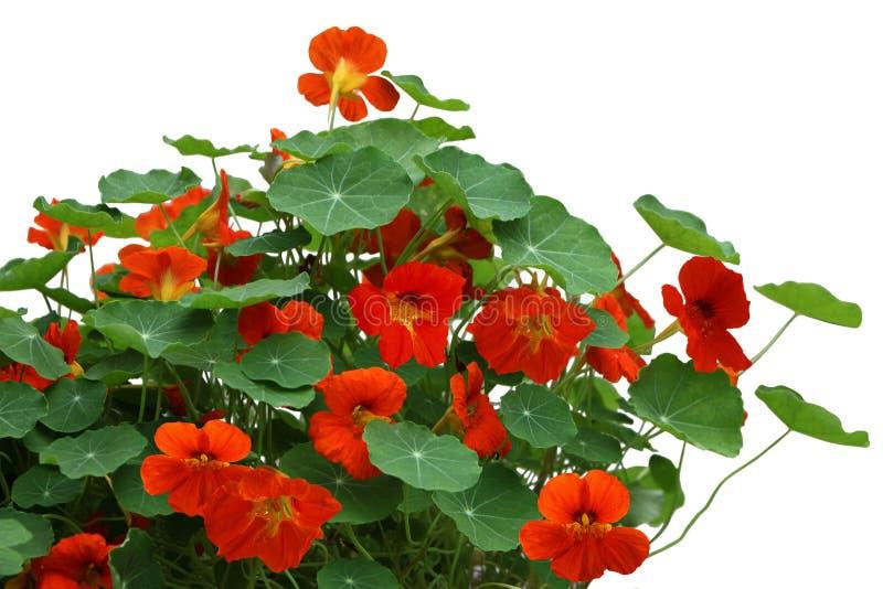 Nasturcja kwiatu roślina fotografia royalty free
