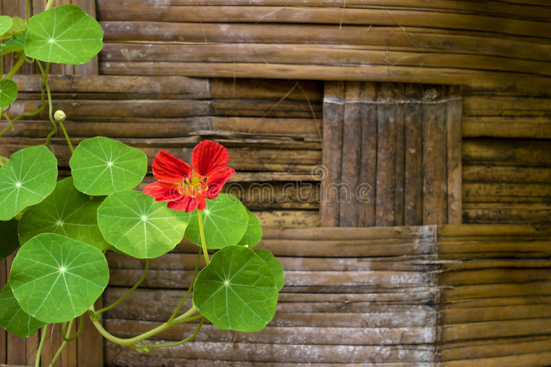 Nasturcja kwiaty zdjęcie stock